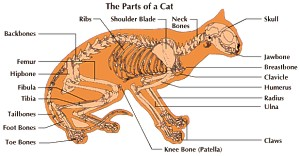Information and facts on cats anatomy