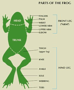 Information and facts on the anatomy of amphibians